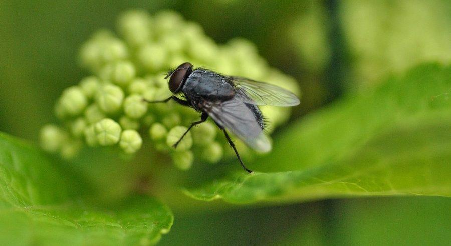 ¿Cuanto vive una mosca?
