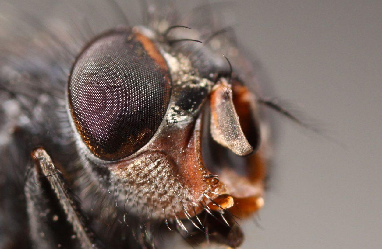 ¿Cuantos ojos tiene una mosca?