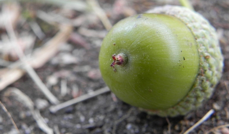 ¿Cual es el fruto del roble?