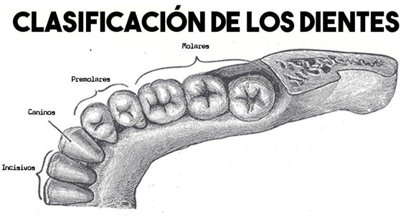 Clasificación de los dientes