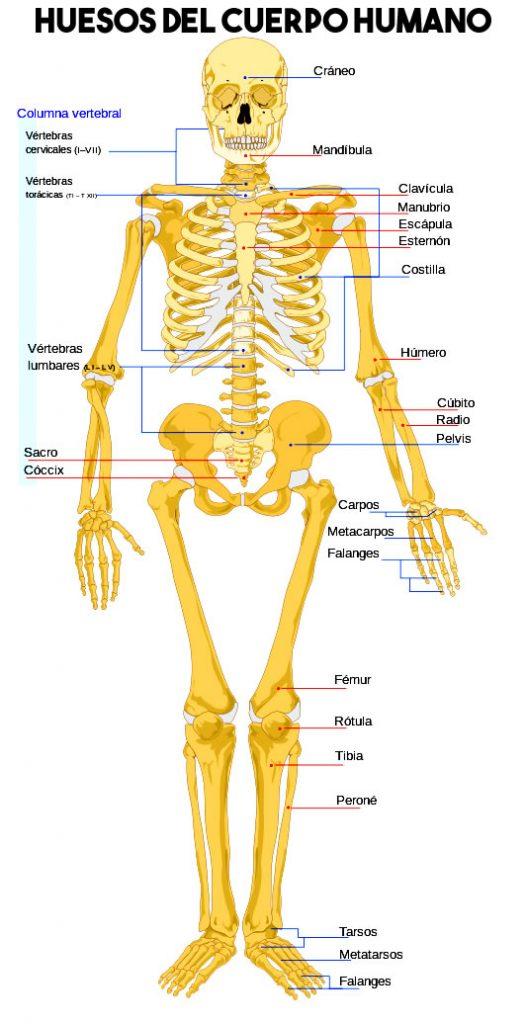 Esqueleto con cada hueso del cuerpo humano