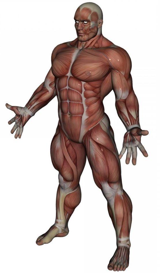 Cuántos Músculos Tiene El Cuerpo Humano