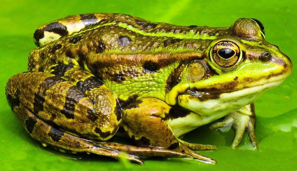 ¿Cuál es la diferencia entre los sapos y las ranas?