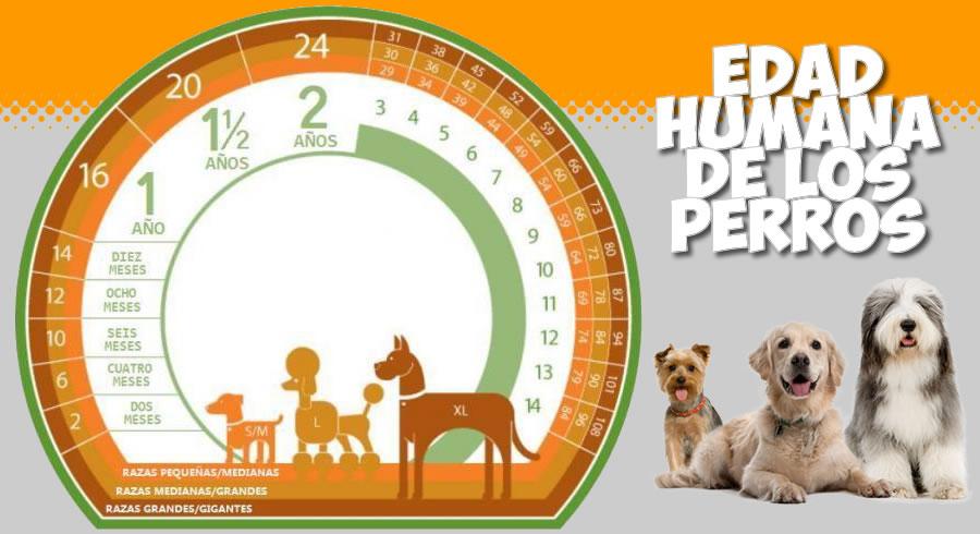 ¿Como calcular la edad humana de los perros?