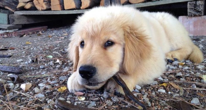 Cachorro de un golden retriever