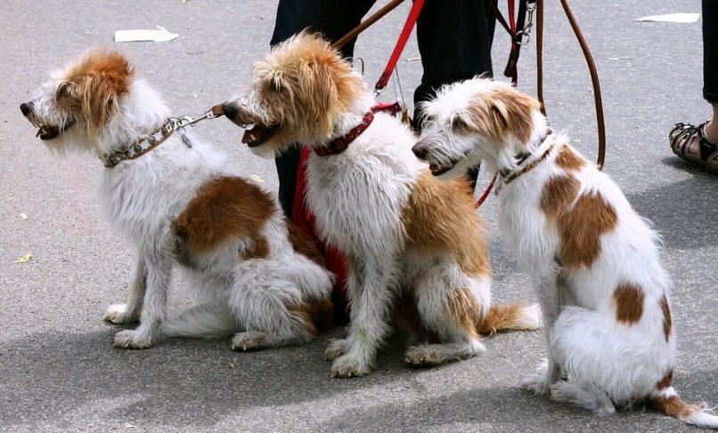 Perros con su correa de paseo