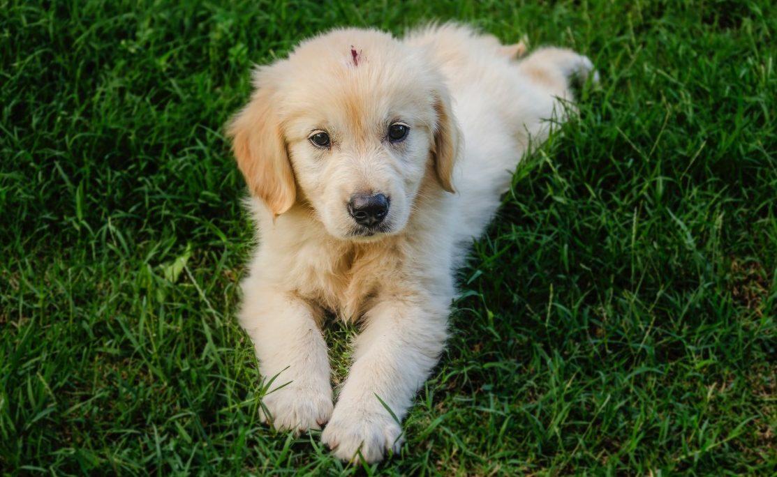 Golden Retriever, todo sobre esta maravillosa raza de perro