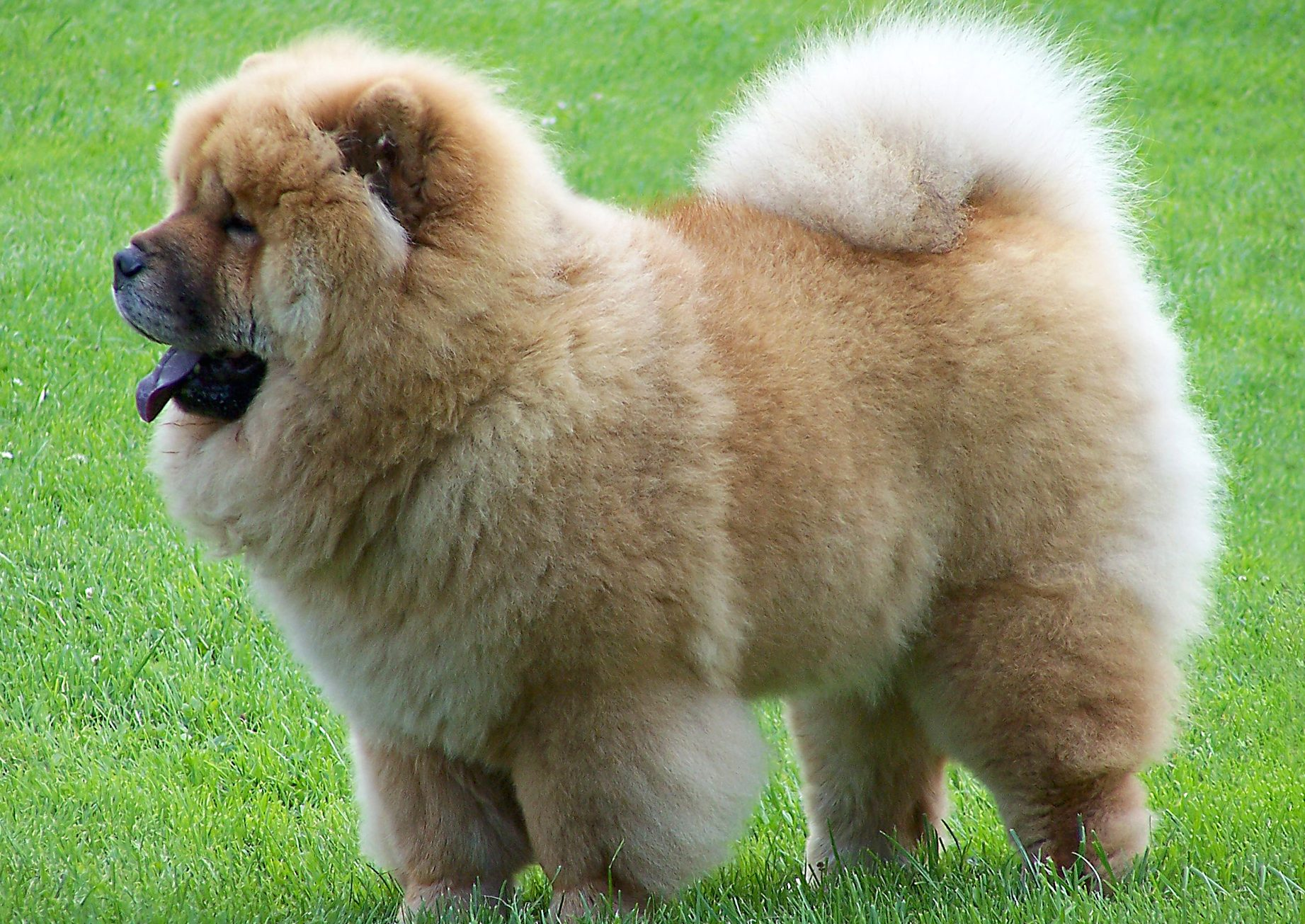 Chow Chow, todo sobre esta raza de perro