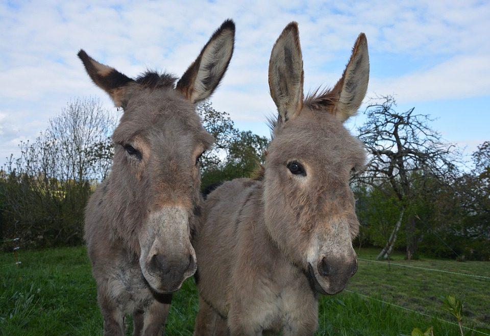 Conoce las diferencias entre burros, asnos y mulas